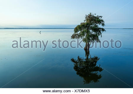 Lone cypress tree in brackish water, Taxodium distichum. - Stock Photo