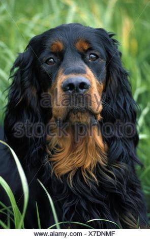 Gordon Setter,portrait, - Stock Photo