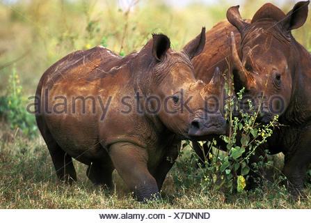 White Rhinoceros, ceratotherium simum, Adults, Kenya - Stock Photo