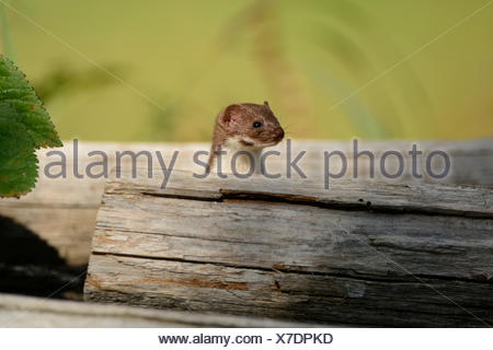 Least Weasel, Mustela nivalis, Mustelidae, Weasel, animal, Obergoms, Canton, Valais, Switzerland, Europe, - Stock Photo