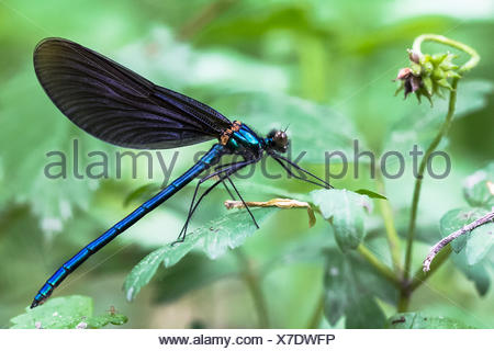 Wires, wire mesh, stream, blue, blue-wing Demoiselle, Calopterygidae, Calopteryx virgo, Germany, coloring, wing, hard woods, male, Öffingen, demoiselle, dormancy, forest, insect, body, invertebrate, beautiful, dragonfly, nature - Stock Photo