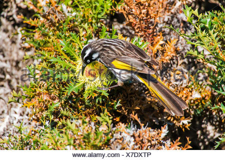 yellow-winged honeyeater (Phylidonyris novaehollandiae), on a Banksia speciosa flower, Australia, Western Australia, Cape le Grand National Park - Stock Photo