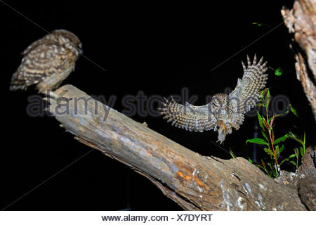 little owl (Athene noctua), approaching a branch with a squeeker with mouse in a claw, Germany, North Rhine-Westphalia, Langenberg - Stock Photo