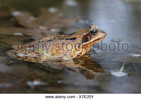 European common frog (Rana temporaria) sitting in shallow water, Malscheid Nature Reserve, Siegerland, North Rhine-Westphalia - Stock Photo