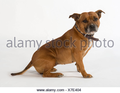 Staffordshire Bull Terrier Dog UK - Stock Photo