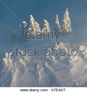 Frost covered Norway spruce, Picea abies, in winter storm. - Stock Photo