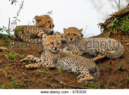 cheetah (Acinonyx jubatus), three cubs resting, Kenya, Masai Mara National Park - Stock Photo