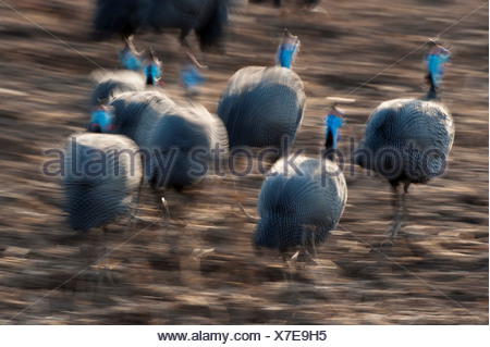 Flock Helmeted guinea fowl Numida meleagris running on banks Luangwa River South Luangwa National Park Zambia - Stock Photo