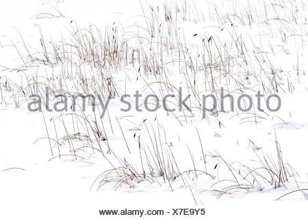 Herbs in snow - Queyras Valley Ceillac Alpes France - Stock Photo