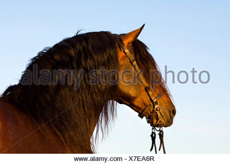 Andalusian Horse, Pure Spanish Horse or PRE horse, Pura Raza Española, bay stallion with a Vaquero bridle, Andalusia, Spain - Stock Photo