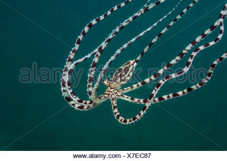 Mimic Octopus, Thaumoctopus mimicus, Lembeh Strait, Sulawesi, Indonesia - Stock Photo
