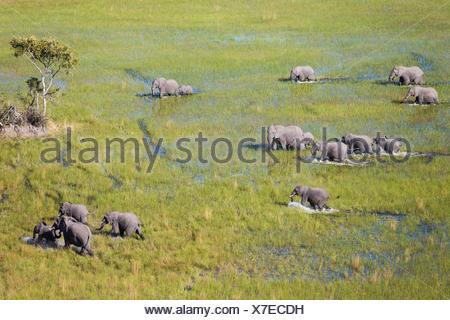African Elephant (Loxodonta africana), breeding herd, roaming in a freshwater marsh, aerial view, Okavango Delta - Stock Photo