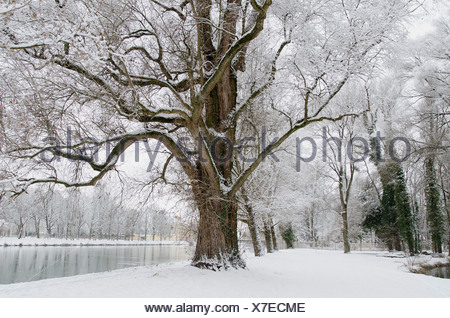 Old tree with hoar frast on the Isar river in winter, Landshut, Lower Bavaria, Bavaria, Germany, Europe - Stock Photo