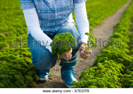 Woman harvesting parsley in a field - Stock Photo