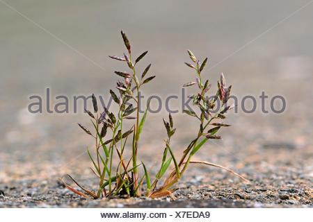 Kleines Liebesgras (Eragrostis minor, Poa eragrostis), bluehend auf einem Buergersteig, Deutschland | Little love grass, Little  - Stock Photo