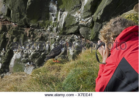 Atlantic puffin, Common puffin (Fratercula arctica), woman taking photos of a Common puffin, Iceland, Westfjorde, Latrabjarg - Stock Photo
