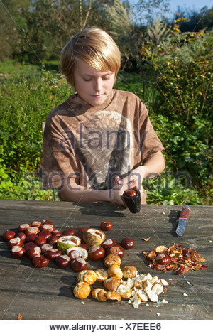 common horse chestnut (Aesculus hippocastanum), making soap from horse chestnuts: child opening a conker with a nutcracker - Stock Photo