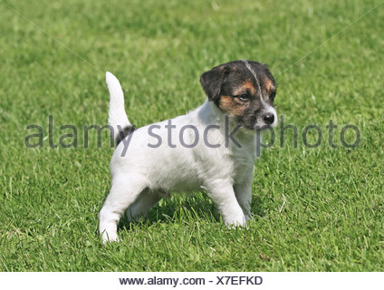 Parson Jack Russel Terrier puppy - standing on meadow - Stock Photo