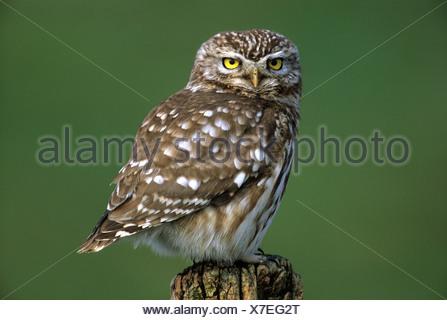 Little owl (Athene noctua), owl, Hortobagy, Puszta, Hungary