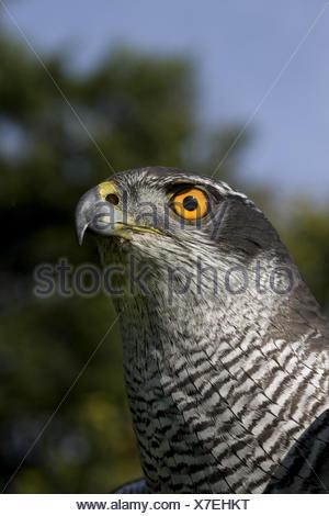 Hawk, Accipiter gentilis, portrait, Normandy, France, - Stock Photo