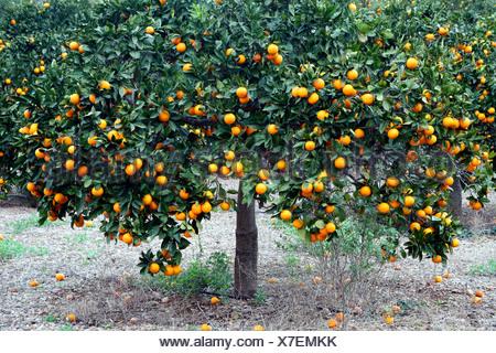 Orange tree (Citrus sinensis), orange tree, Spain, Balearen, Majorca - Stock Photo