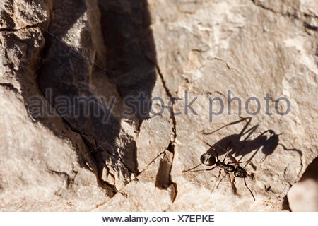 An ant crawling on dolomite rock at 2200 meters elevation. - Stock Photo