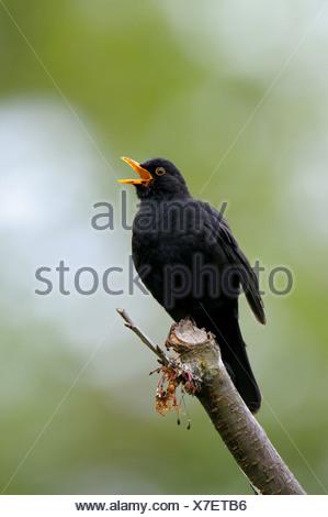 blackbird (Turdus merula), singing male, Germany, North Rhine-Westphalia - Stock Photo