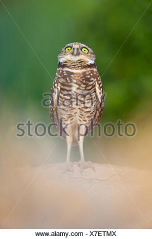 Burrowing Owl (Athene cunicularia) standing at entrance to burrow, and watching a Red-tailed Hawk circling above. Salton Sea, California, USA. - Stock Photo