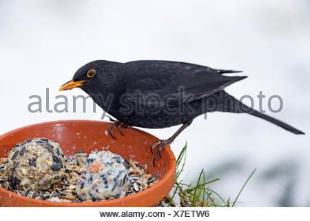 Amsel, Schwarzdrossel (Turdus merula), Maennchen an selbstgemachtem Vogelfutter in einer Schale, Seitenansicht, Deutschland | bl - Stock Photo