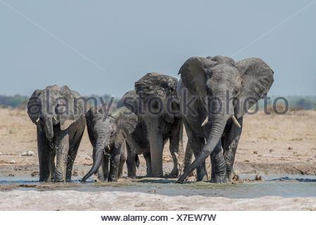 African elephants (Loxodonta africana), elephant herd drinking at a waterhole, Nxai Pan National Park, Ngamiland District - Stock Photo