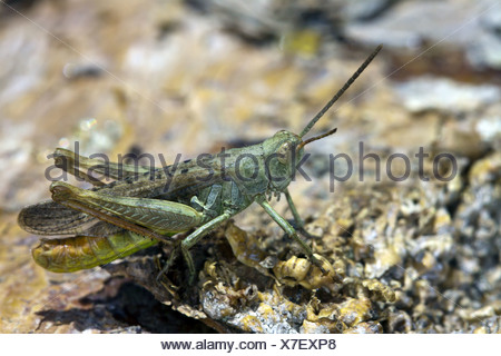 Chorthippus biguttulus, Bow-winged Grashopper - Stock Photo