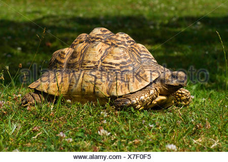 leopard tortoise (Geochelone pardalis), lying in a meadow - Stock Photo