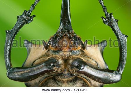 Close up of head and prothorax of male Elephant beetle (Megasoma Elephas) with horns, Santa Rita, Costa Rica - Stock Photo