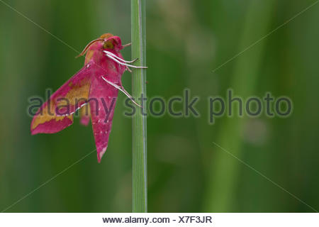 Small elephant hawkmoth, Small elephant hawk-moth (Deilephila porcellus, Pergesa porcellus), sits on a leaf, Germany - Stock Photo