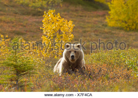A Brown bear forages in Fall colored tundra in Katmai National Park, Southwest Alaska, Autumn - Stock Photo