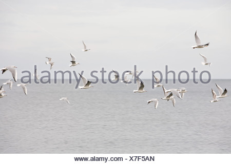 A flock of herring gulls over the sea - Stock Photo