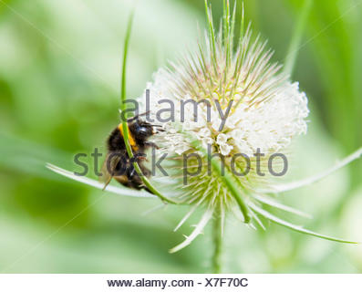 Close up of bumblebee feeding on wildflower nectar - Stock Photo