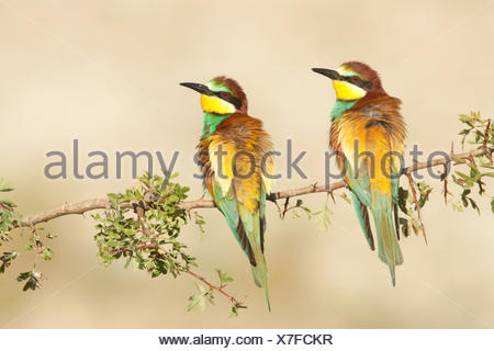 Two bee-eaters perched on hawthorn branch - Stock Photo