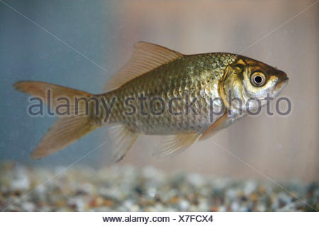 Goldfish, carassius auratus - Stock Photo