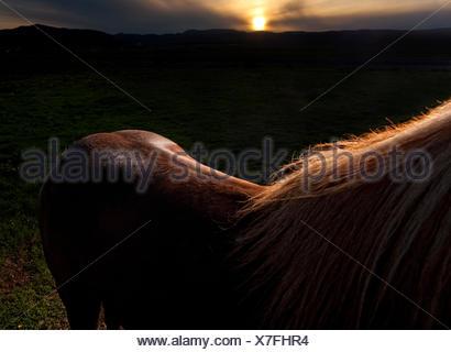 Rim light on brown Icelandic Horse, Iceland - Stock Photo