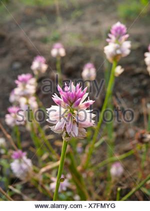 Celosia Argentea flowers, Sinhangad, Pune, Maharashtra, India - Stock Photo