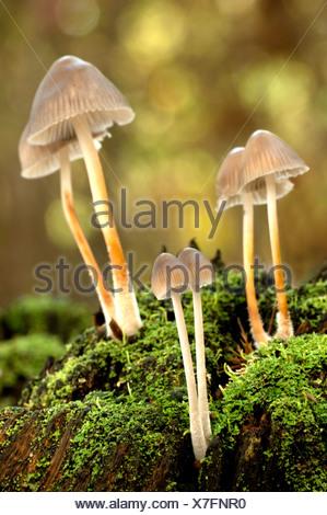 Glistening Ink Cap, Coprinus micaceus, UK - Stock Photo