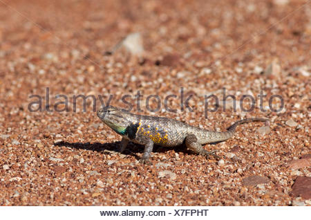 The Desert Spiny Lizard, Sceloporus magister, Paria Canyon-Vermilion Cliffs Wilderness Area, Utah, United States of America - Stock Photo