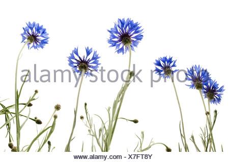 Cornflowers (Centaurea cyanus) - Stock Photo