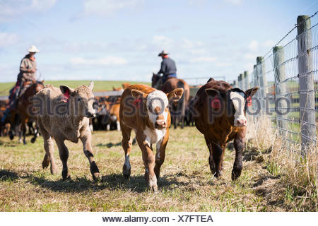 Tagged calves running along fence on cattle ranch - Stock Photo