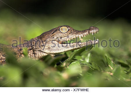 Portrait of a nile crocodile hatchling - Stock Photo