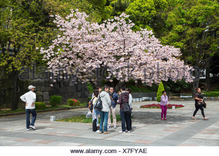 Tourists underneath a cherry tree with blossoms at the Imperial Palace in Tokyo. - Stock Photo