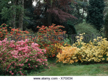 Pale yellow and pink rhododendrons and azaleas in border in large country garden in Spring - Stock Photo