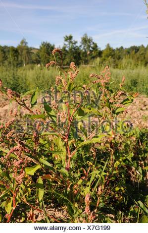 Pale persicaria - Stock Photo