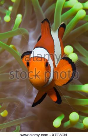 Clown Anemonefish, Amphiprion percula, Alam Batu, Bali, Indonesia
